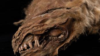 Csaknem 60 ezer éve jégbe fagyott farkaskölyköt vizsgálnak kutatók