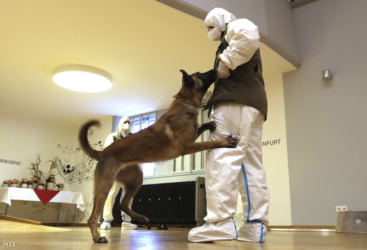 Fantasy Forever vom Seetalblick, az osztrák hadsereg koronavírus-kereső belga juhászkutyája bemutatót tart oktatójával egy bécsi sajtótájékoztatón 2020. december 14-én.
