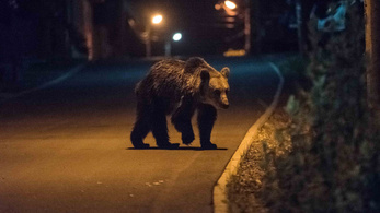 Az RMDSZ új minisztere szabályozná a medvepopulációt