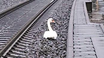 Gyászoló hattyú miatt késtek a vonatok Németországban