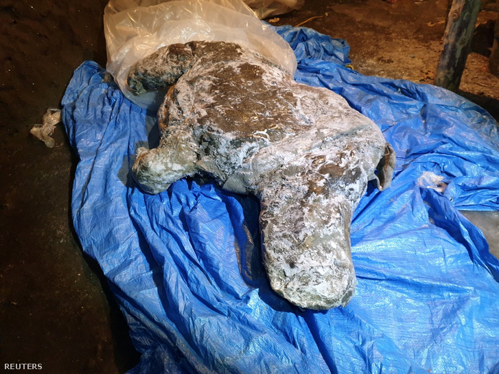 A kiolvadt gyapjas orrszarvú, amit 2020 augusztusában találtak Yakutiában