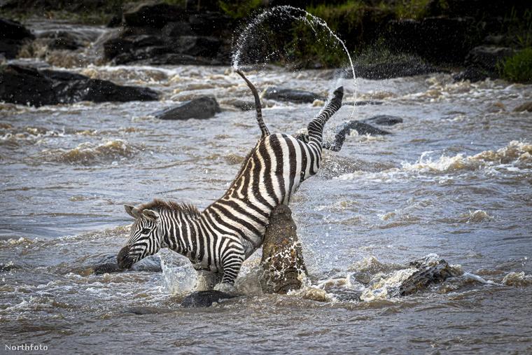 Most pedig azt láthatja, hogy elszámította magát egy zebra, és egy krokodil áldozata lett Kenyában.
