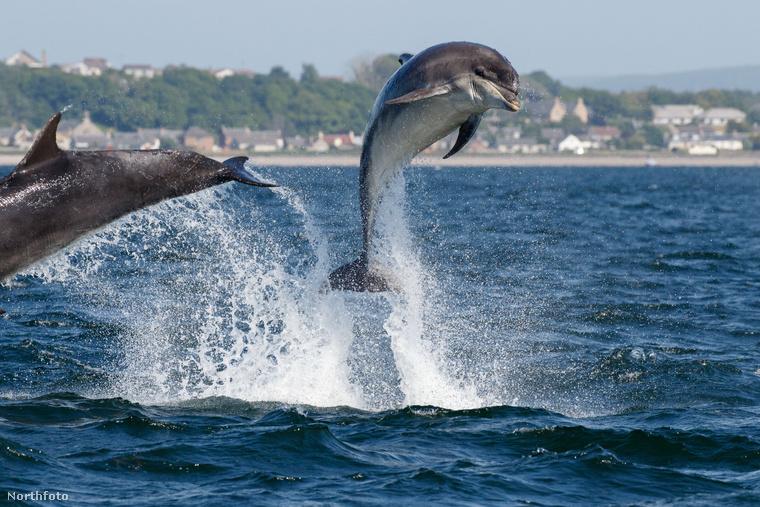 Kezdjük egy vidám fotóval, amin két delfin ugrál vidáman a tengerparthoz közel