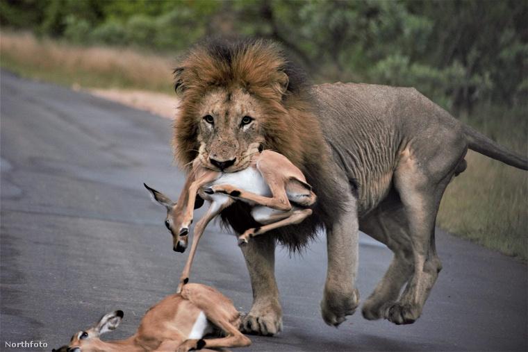 Itt pedig egy oroszlán ejtett el nemcsak egy, hanem mindjárt kettő impalát