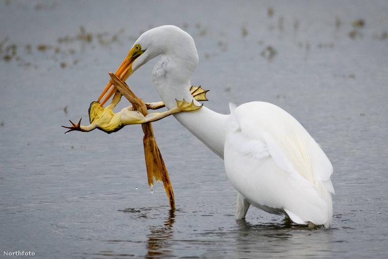 Nézze, ahogy ez a floridai béka próbál kiszabadulni a gólya csőrei közül