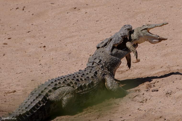 Ez a harc egyértelműen egyenlőtlen: a nagyobb krokodil brutálisan vájja éles fogait a kisebbe