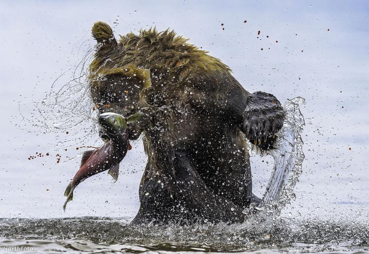 Szibériában készült fotó még nem volt, úgyhogy tessék, itt egy orosz medve zsákmányszerző akció közben