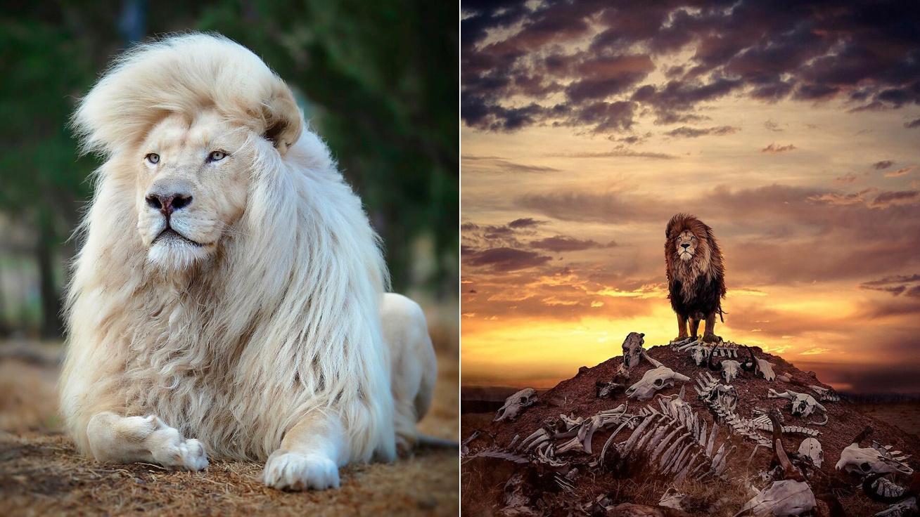 oroszlán-borító