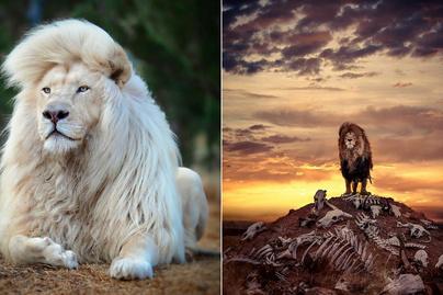 oroszlán nemzet fogyás