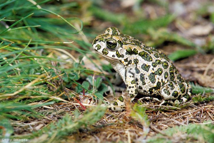 A zöld varangy (Bufotes viridis) a kétéltűek (Amphibia) osztályán belül a békák (Anura) rendjéhez, ezen belül a varangyfélék (Bufonidae) családjához tartozó faj.