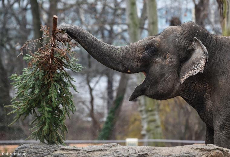 Zárásképpen fogadjanak el két fotót a berlini állatkertből: mi nem tudtuk, hogy a fenyőfa finom is lehet, de valószínűleg csak azért,