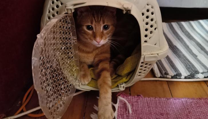 A macskák általában a hordozót azért nem szeretik kuckónak használni, mert az állatorvoshoz való szállításra emlékezteti őket – kivéve Cicerót.