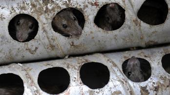 Szigorúbban ellenőrzik mostantól a budapesti patkányirtó céget