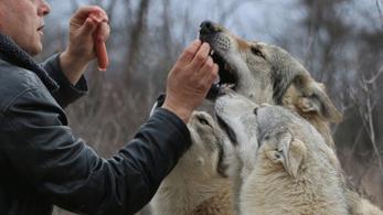 Túltermelési válság miatt szegődött az ember mellé a farkas?