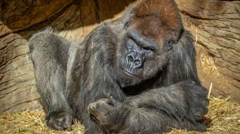 Koronavírussal fertőződött meg két gorilla