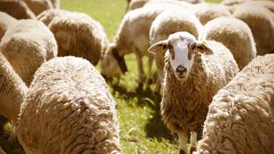 Te képes vagy elalvás előtt bárányokat számolgatni? Ez fontos képességre utal