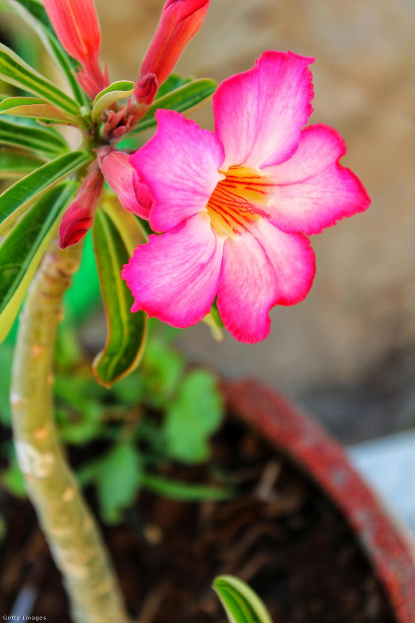 A sivatagi rózsa, Adenium obesum, különleges pozsgás szárú növény. Nevéhez híven ténylegesen a sivatagos időjárást kedveli, tehát a meleg, javarészt napsütötte helyeket. Kifejezetten szárazságkedvelő növény, ezért jó vízáteresztésű talajt igényel, a földjét érdemes durva szemcséjű kőzettörmelékkel keverni, mert a pangó víz hamar elhervasztja. Elég hetente egyszer locsolni.