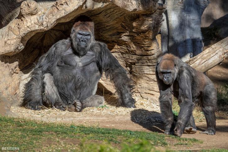 A San Diegó-i állatkert gorillái