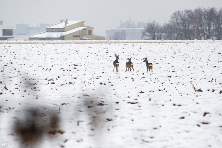 Őzek behavazott szántóföldön Zalaegerszegen határában 2021. január 8-án