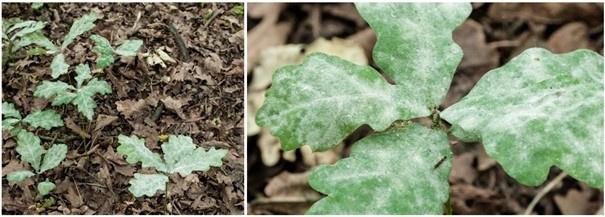 Tölgylisztharmattal súlyosan fertőzött, pusztuló fiatal kocsányostölgy-magoncok. A szőlőlisztharmat betegséghez hasonlóan a tölgylisztharmat esetében is fátyolos fehér lepedék képződik a csemete levelének felszínén, amely eltakarja a napfényt. Árnyékos erdőben 3–5 éven belül elpusztul a magonc, míg ha fény éri, még jobban elharapódzik rajta a fertőzés, növekedése lelassul, és a versenytársak végül túlnövik, elnyomják.