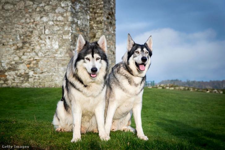 Északi inuit kutyák, a Trónok harcában erről a fajtáról mintázták a rémfarkasokat