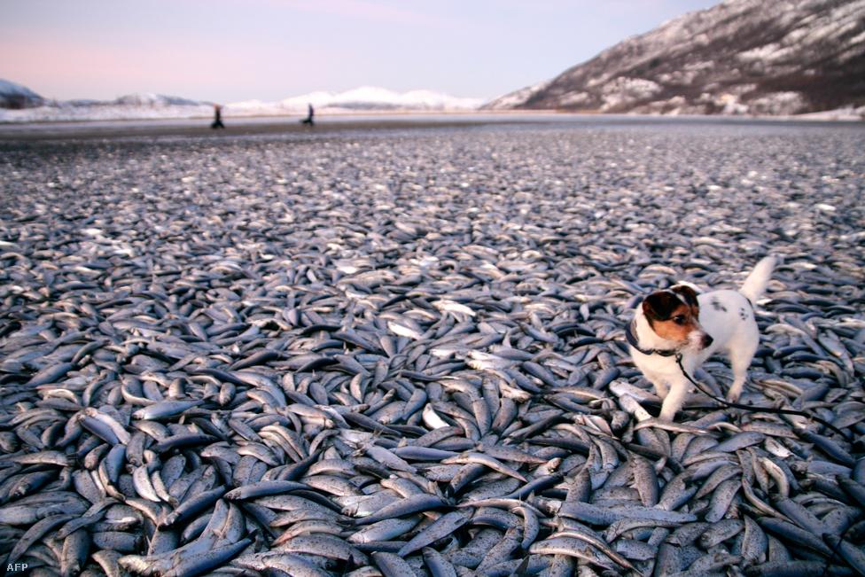 Molly és gazdája sétálás közben akadtak rá a több tonna döglött heringre Norvégia északi részén. A tömeges halpusztulás oka a mai napig ismeretlen. (Január 2.)