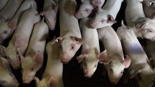 Krízisbiztosítás segíti a pácban lévő állattenyésztőket