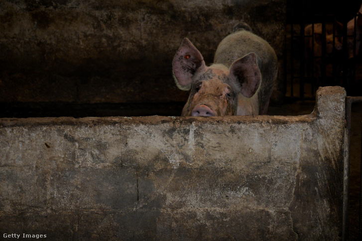 Egy sertésfarm Kolumbiában.