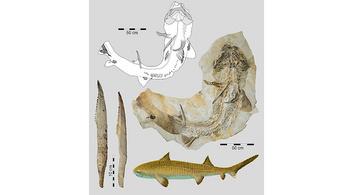 Több mint kétméteresek lehettek a cápák és a ráják közös ősei