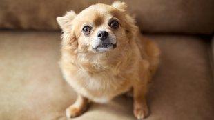 Reszkető kutya: öröklött betegség is állhat a háttérben