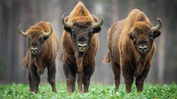 Már nem veszélyeztetett faj az európai bölény