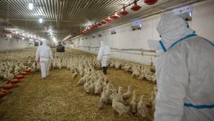 Országos főállatorvos a madárinfluenzáról: egyelőre sikerült lokalizálni a betegséget