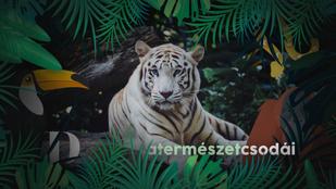 A természet csodái: Hogyan születik két narancssárga tigrisnek fehér kölyke?