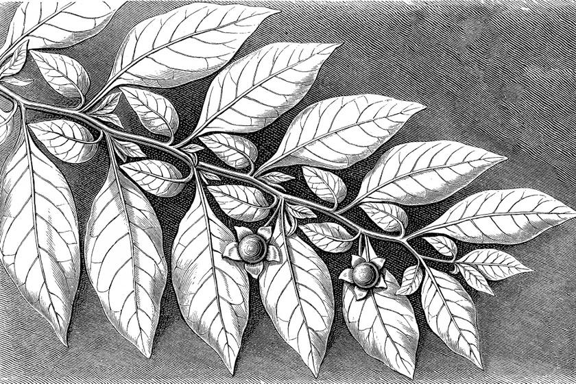 nadragulya belladonna