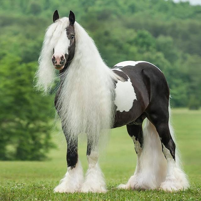 Nem filmes trükk, tényleg léteznek: a világ legtermetesebb lovai olyanok, mint egy másik világ teremtményei