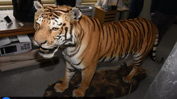 Levadászott egy tigrist, és otthon tartotta