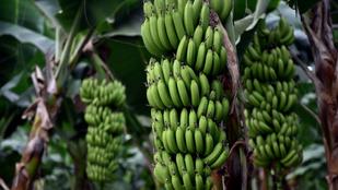 Egyen egy banánt, mert hamarosan luxuscikk lesz