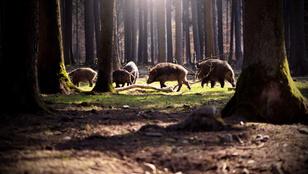 Nemzeti akcióterv készült a vaddisznóállományról