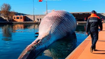 Hetventonnás bálnatetemet emeltek ki a Földközi-tengerből