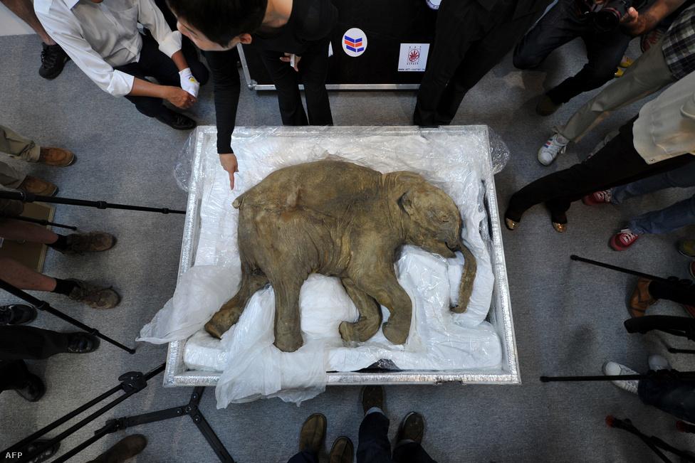 Lyuba, a bébimamut nem csak az idei évet élte túl, hanem az elmúlt 42 ezret is a jég alatt. Maradványait idén mutatták be a sajtó munkatársainak Hong Kongban április 12-én.