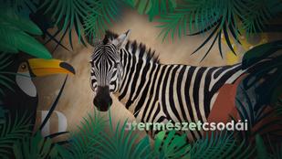 Miért csíkos a zebra? Álca? Riasztó? Hőszabályozó lenne?