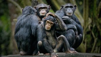 Leprás csimpánzokat találtak az afrikai dzsungel mélyén