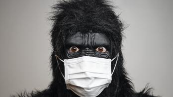 Elkapta a koronavírust a San Diegó-i gorilla, antitesttel sikerült meggyógyítani
