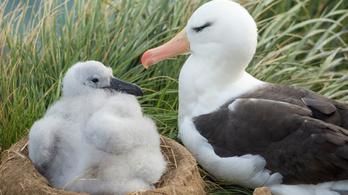 Több mint két és fél millióan nézték az új-zélandi albatrosz költését