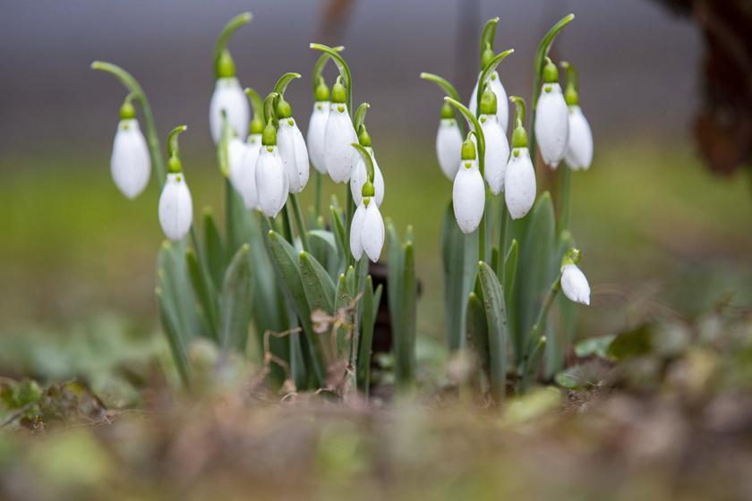 Nyílik a hóvirág az országban: friss fotókon a tavasz korai hírnökei