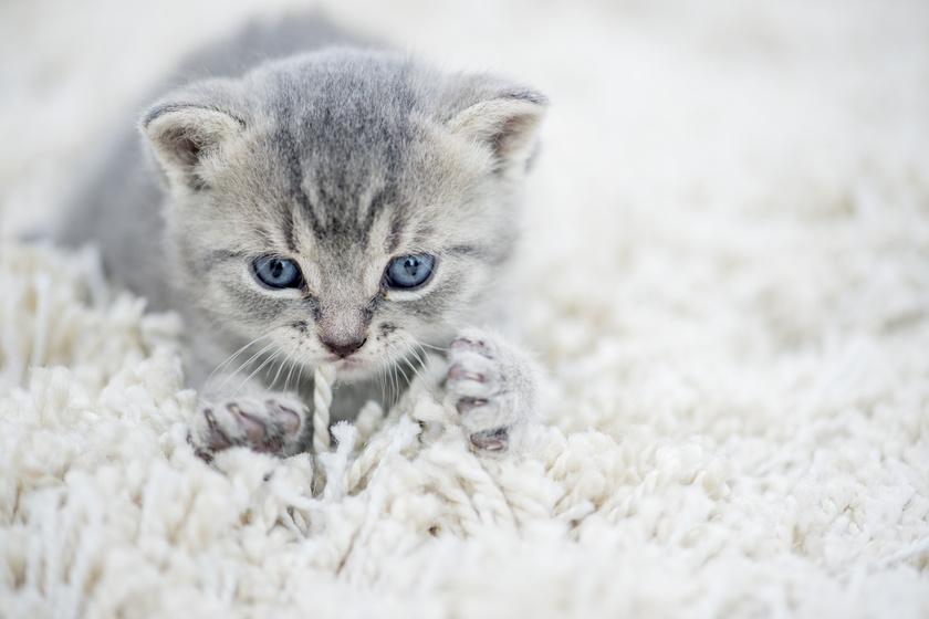 macska dagaszt 1