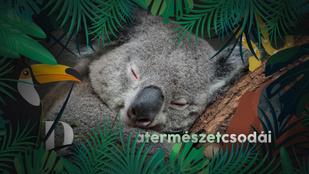 A koalák ujjlenyomata még egy bűnügyi nyomozást is félrevihet