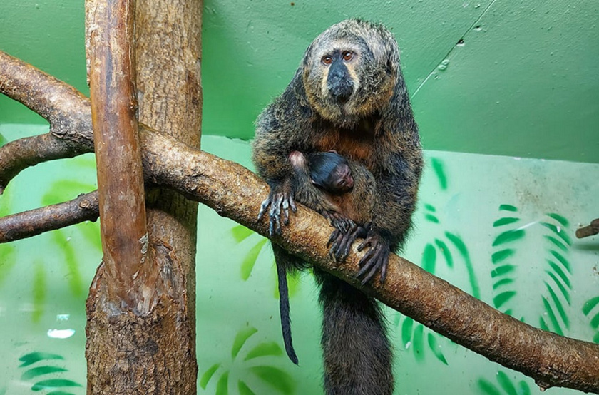 A dél-amerikai esőerdők alsóbb lombkoronaszintjein lakó, főleg gyümölcsökkel, diókkal és magokkal, kisebb részben rovarokkal táplálkozó sátánmajom elnevezését nem rossz természetéről, hanem majomként szokatlan külső megjelenése után kapta.
