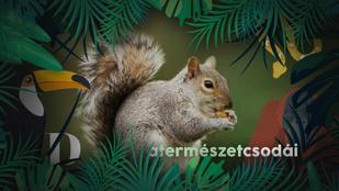 Ha kajáról van szó, a mókusok hihetetlenül rafkósak tudnak lenni