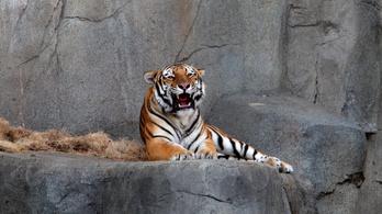 Újra megműtik az ízületi gyulladásos szibériai tigrist